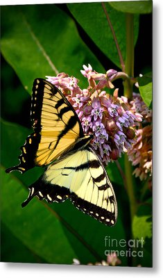 Yellow Swallowtail Butterfly Metal Print by Amy Cicconi