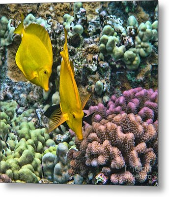 Yellow Tang Pair Metal Print by Peggy Hughes