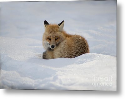 Yellowstone Fox # 2 Metal Print
