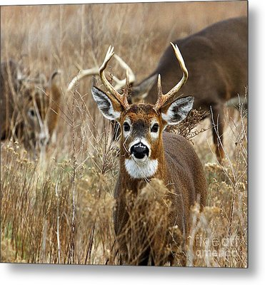 You Lookin At Me? Metal Print by Butch Lombardi