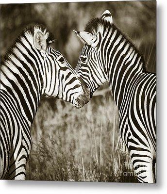 Metal Print featuring the photograph Zebra Affection by Liz Leyden