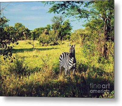 Zebra In Grass On African Savanna. Metal Print by Michal Bednarek