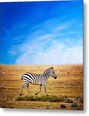 Zebra On African Savanna. Metal Print by Michal Bednarek