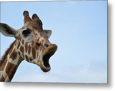 Zootography Giraffe Honking Metal Print by Jeff at JSJ Photography