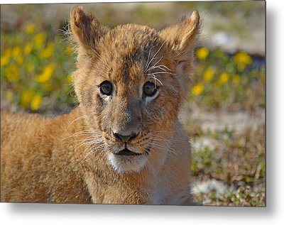 Zootography3 Zion The Lion Cub Metal Print by Jeff at JSJ Photography