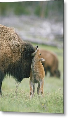A Female Bison Bison Bison Stands Metal Print by Tom Murphy