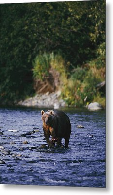 A Kodiak Brown Bear Ursus Middendorfii Metal Print by George F. Mobley