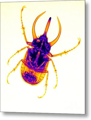 Atlas Beetle X-ray Metal Print by Ted Kinsman