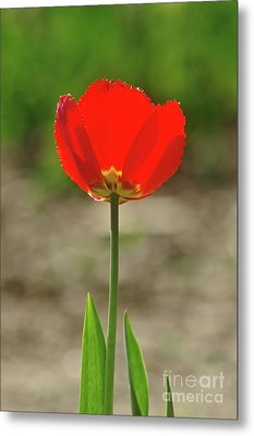 Metal Print featuring the photograph Beauty In Red by Dariusz Gudowicz