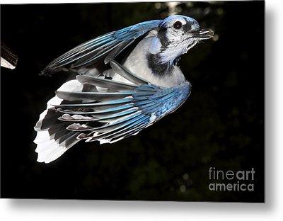 Blue Jay In Flight Metal Print by Ted Kinsman