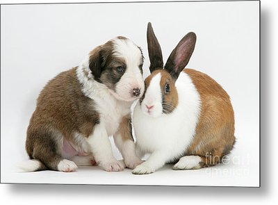 Border Collie Pup With Dutch Rabbit Metal Print by Jane Burton