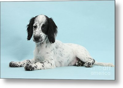 Border Collie X Cocker Spaniel Puppy Metal Print by Mark Taylor