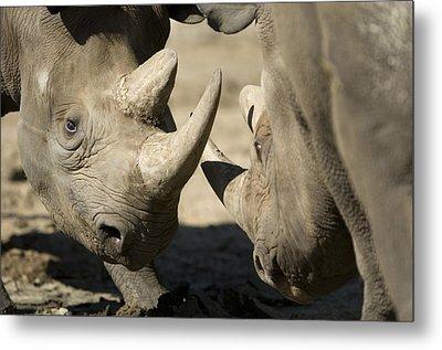 Eastern Black Rhinoceros Metal Print by Joel Sartore