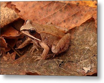 Eastern Wood Frog Metal Print by Ted Kinsman