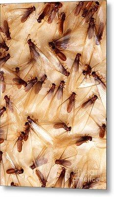 Formosan Termites Metal Print by Science Source