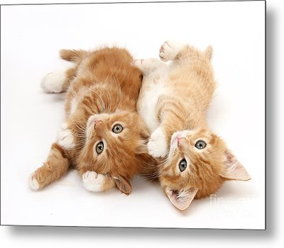 Ginger Kittens Metal Print by Mark Taylor