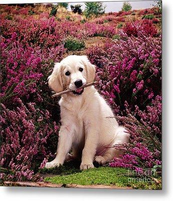 Golden Retriever Puppy Metal Print by Jane Burton