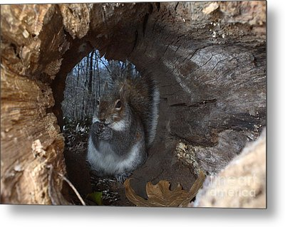 Gray Squirrel Metal Print by Ted Kinsman