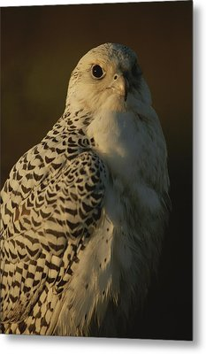 Gyrfalcon Falco Rusticolus In Its White Metal Print