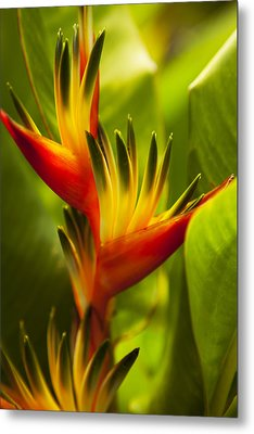 Heliconia Metal Print by Dana Edmunds - Printscapes