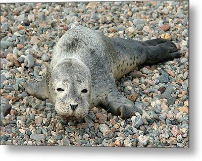 Injured Harbor Seal Metal Print by Ted Kinsman