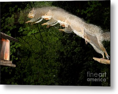 Jumping Gray Squirrel Metal Print by Ted Kinsman