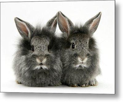 Lionhead Rabbits Metal Print by Jane Burton