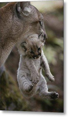 Mother Mountain Lion, Felis Concolor Metal Print by Jim And Jamie Dutcher