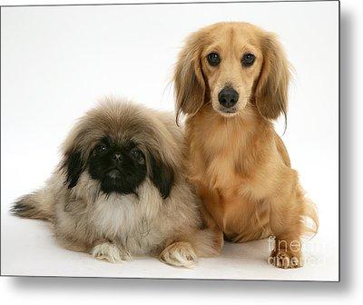 Pekingese And Dachshund Puppies Metal Print by Jane Burton