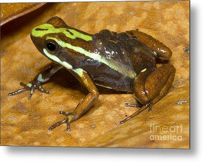 Poison Frog With Eggs Metal Print by Dante Fenolio