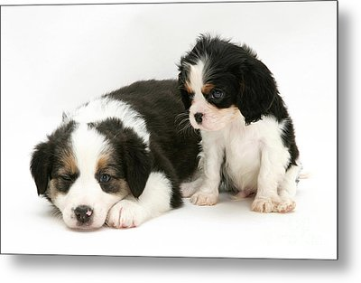 Puppies Metal Print by Jane Burton