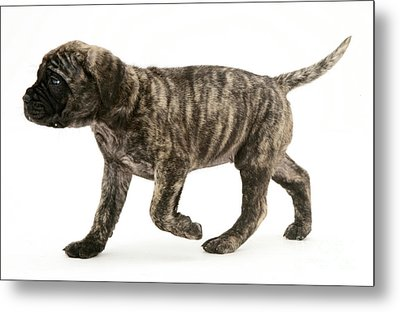 Puppy Trotting Metal Print by Jane Burton
