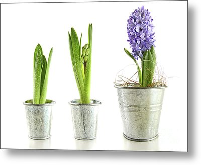 Purple Hyacinth In Garden Pots On White Metal Print by Sandra Cunningham