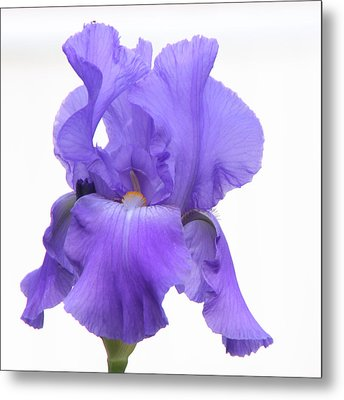 Purple Iris On White Metal Print