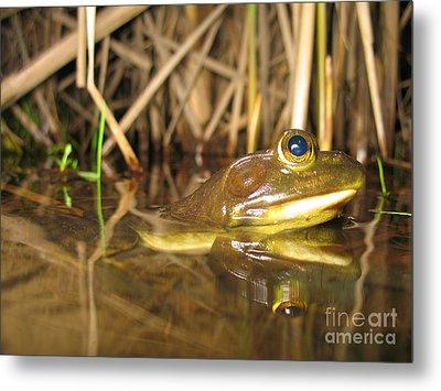Resting Bullfrog Metal Print by Ted Kinsman