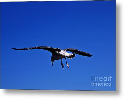 Seagull In Flight Metal Print by John Greim