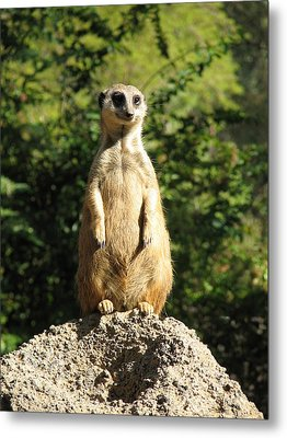 Metal Print featuring the photograph Sentinel Meerkat by Carla Parris