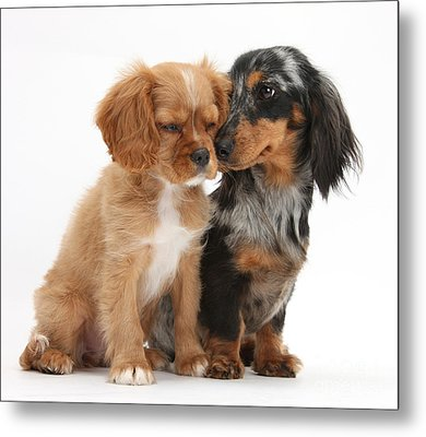 Spaniel & Dachshund Puppies Metal Print by Mark Taylor