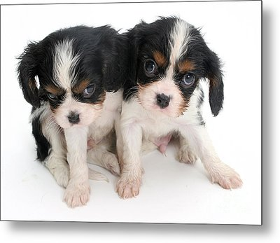 Spaniel Puppies Metal Print by Jane Burton