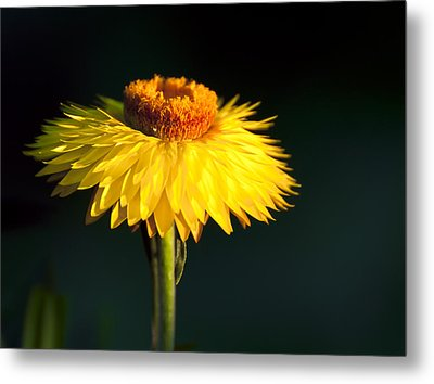 Sunset Daisy Metal Print by Vicki Jauron