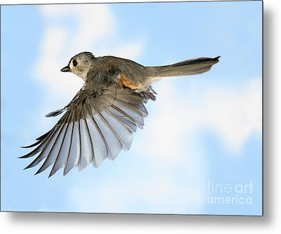 Tufted Titmouse In Flight Metal Print by Ted Kinsman