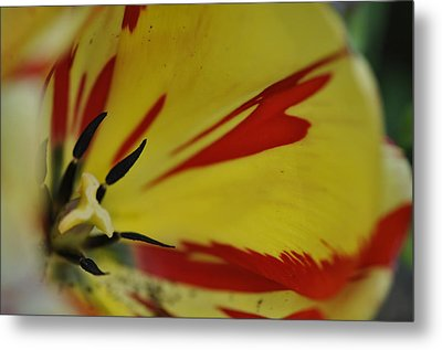 Metal Print featuring the photograph Variegated Tulip by Rob Hemphill