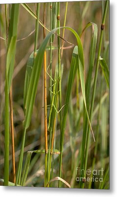 Walking Stick Insect Metal Print by Ted Kinsman