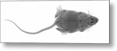 X Ray Of A Mouse Metal Print
