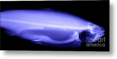 X-ray Of A Trout Metal Print by Ted Kinsman