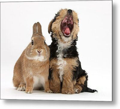 Yorkshire Terrier Pup With Rabbit Metal Print by Mark Taylor