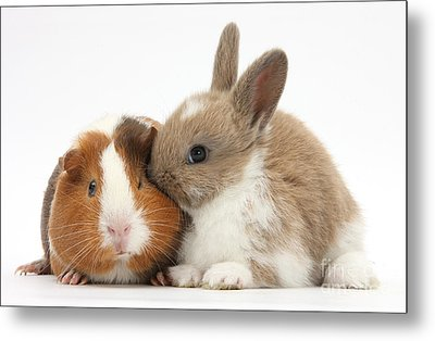 Baby Rabbit And Guinea Pig Metal Print