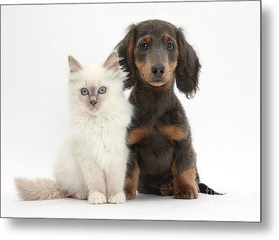 Blue-point Kitten & Dachshund Metal Print by Mark Taylor