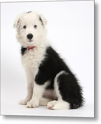 Border Collie Pup Metal Print by Mark Taylor