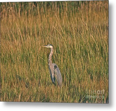 Metal Print featuring the photograph Great Blue Heron by Cindy Lee Longhini